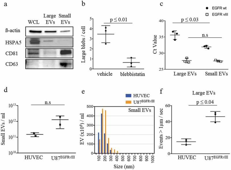 Characterization of large and small EV cargo released from GBM U87 EGFRvIII cells. (a) Western blot analysis of β-actin, HSPA5, CD81 and CD63 in whole cell lysate (WCL), large and small EV fractions isolated from U87 EGFRvIII cells demonstrated WCL enriched in β-actin, HSPA5, CD81; large EVs enriched in HSPA5and small EVs enriched in CD81, CD63. (b) Quantitative analysis of large blebs released per cell in U87 EGFRvIII cells treated with blebbistatin (a known inhibitor of bleb formation) or vehicle (mock) yielded a significant decrease in large EV release. (c) EGFRwt and EGFRvIII mRNA quantification using qRT-PCR demonstrated significantly higher amounts of EGFRwt mRNA in small EVs and similar amounts of EGFRvIII mRNA in both large and small EVs. (d) Nanoparticle tracking analysis (NTA) of particle counts of small EVs derived from HUVEC and U87 EGFRvIII cells represent a similar number of small EVs released from both the cell lines. (e) Size distribution of small EVs derived from HUVEC and U87 EGFRvIII cells depicted a similar size distribution of small EVs released from both the cell lines. (f) Flow-cytometry analysis of large EVs derived from HUVEC and U87 EGFRvIII cells depicting higher large EV release from U87 EGFRvIII cells. The results are presented as the mean ± SD ((f) n = 3; (d) n = 2).