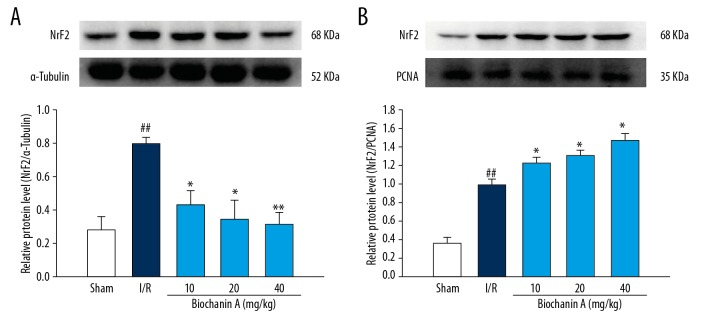 Biochanin A induced Nrf2 nuclear translocation in cerebral I/R rats. Protein extractions in the cytosolic and nuclear fractions from the ischemic penumbras zone of rat brain tissues were isolated, and the expression of Nrf2 was determined by Western blotting at 24 h after reperfusion. Representative Western blots and protein expression of Nrf2 in the cytosolic fractions ( A ) and nuclear fractions ( B ) were analyzed. α-Tubulin and PCNA were used as a loading control in cytosolic protein and in nuclear protein. The protein expression of Nrf2 were compared between the sham group and the I/R group ( ## P