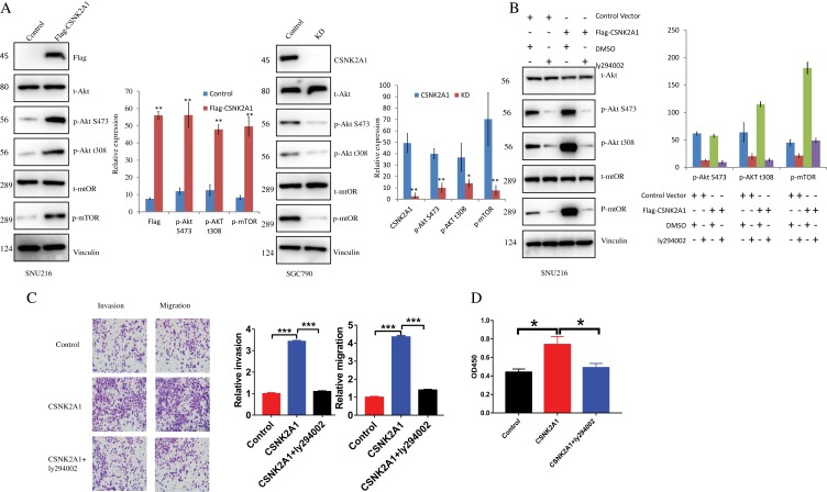 CSNK2A1 modulates the PI3K-Akt-mTOR signaling pathway. ( A ) The Western blot results show that the levels of p-Akt S473/T308 and p-mTOR were increased in CSNK2A1-overexpressing cells and decreased in CSNK2A1-knockdown cells. ( B ) The levels of p-Akt S473/T308 and p-mTOR were decreased after treatment with a PI3K inhibitor (ly294002) in the CSNK2A1-overexpressing GC cell line. ( C ) The migratory and invasive abilities were markedly reduced after PI3K inhibitor ly294002 treatment in the CSNK2A1-overexpressing GC cell line. ( D ) A CCK-8 assay was used to detect the viability of cells treated with empty vector, CSNK2A1 and CSNK2A1+ ly294002. (*P