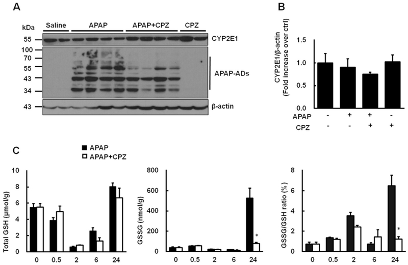 CPZ does not affect APAP metabolism. Mice were treated i.p . with APAP (500 mg/kg) and CPZ (6mg/kg) simultaneously, and livers were collected at 0.5, 2, 6 and 24h respectively. (A) Representative immunoblot of CYP2E1 and APAP-ADs in liver collected at 6 h after treatment. β-actin was used as loading control. (B) Densitometry of (A). (C) Total GSH and GSSG were measured, and GSSG/GSH ratios were calculated ( N = 3—4). Data are presented as the mean ± SEM. Student's t -test, * P