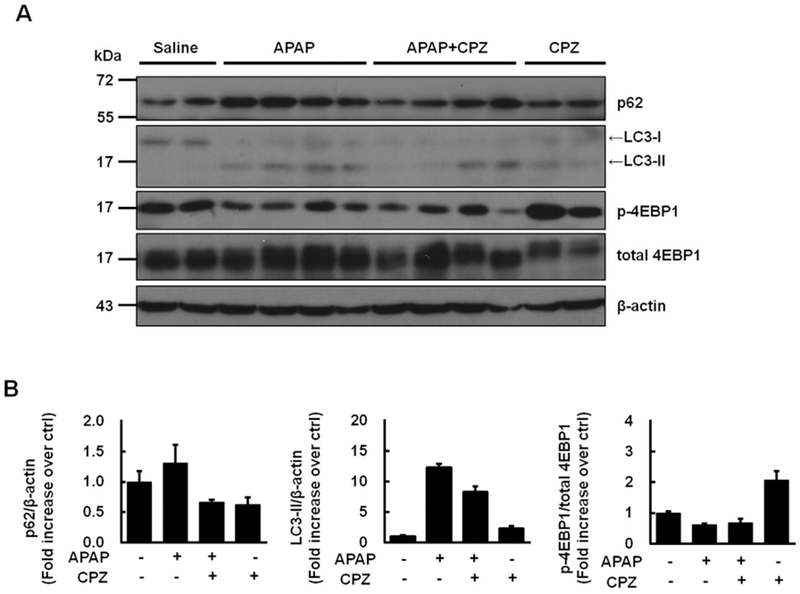 CPZ co-treatment decreases hepatic levels of p62 and LC3-II. Mice were treated i.p. with APAP (500 mg/kg) and CPZ (6 mg/kg) simultaneously, and livers were collected at 6 h. (A) Representative immunoblot of liver p62, LC3, p-4EBP1 and total 4EBP1. β-actin was used as loading control. (B) Densitometry of (A) ( N = 3—4). Abbreviations: CPZ, chlorpromazine; APAP, acetaminophen; i.p ., intraperitoneally; LC3, microtubule-associated protein 1 light chain 3; 4EBP1, eukaryotic initiation factor 4E-binding protein 1.