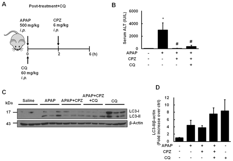 CQ co-treatment partially ameliorates the protective effects of CPZ against APAP-induced liver injury. (A) Mice were treated i.p . with APAP (500 mg/kg) and CQ (60 mg/kg) and 2 h later these mice were further treated with CPZ (6 mg/kg, i.p .) for another 4 h. (B) Serum ALT levels were analyzed. (C) Representative immunoblot of LC3. β-Actin was used as loading control. (D) Densitometry of (C) ( N = 3). Results are presented as the mean ± SEM. Student's t -test, * P