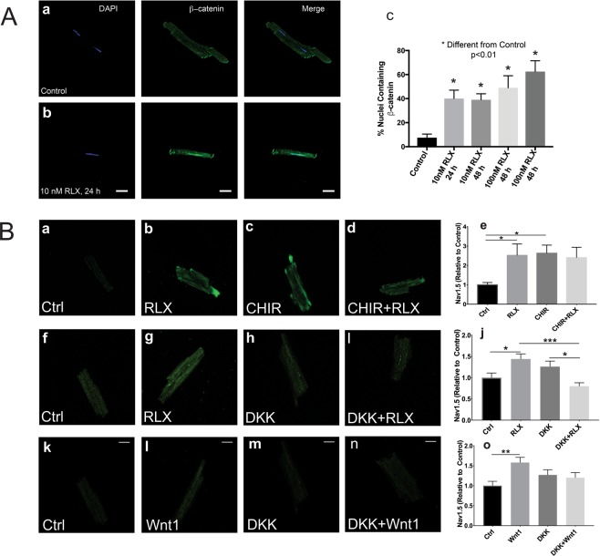 Relaxin signals through Wnt signaling to increase Nav1.5. ( A ) Less than 10% of untreated myocytes exhibit nuclear β-catenin ( A a,c); however, cells treated with RLX for 24 or 48 hours showed a significant increase in cells positive for nuclear β-catenin ( A b,c). 60x magnification. Data obtained from 3–4 separate preparations, 62–148 cells counted per sample. ( B ) Cells treated with RLX or CHIR, an inhibitor of GSK3β and Wnt pathway activator, significantly increased Nav1.5 by more than 2-fold ( B a–e, n ≥ 8 cells/group). Inhibition of canonical Wnt signaling by DKK1 blocked the effects of RLX 9 n ≥ 24 cells/group) and Wnt1 (n ≥ 17 cells/group) on Nav1.5 expression ( B f–o). 600x magnification, scale bars = 25 µm and apply to all panels. *Indicates p