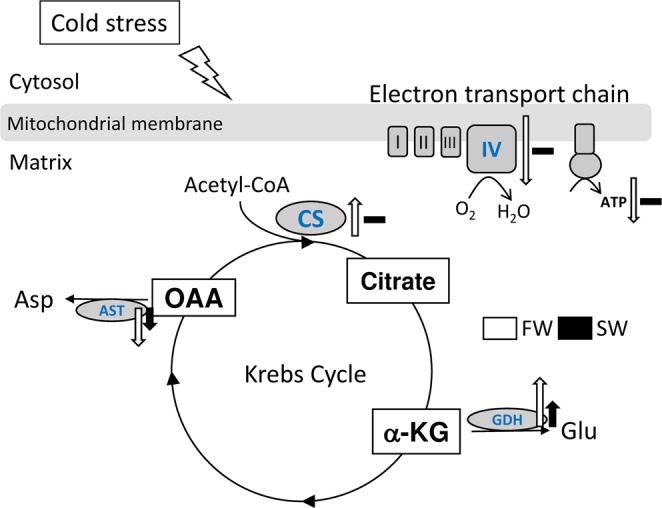 Effects of hypothermal stress on the mitochondria in the livers of freshwater (FW) and seawater (SW) milkfish. <t>AST,</t> aspartate transaminase; CS, citrate synthase; GDH, glutamate dehydrogenase; GLU, glutamate; α-KG, alpha-ketoglutarate; OAA, oxaloacetate.