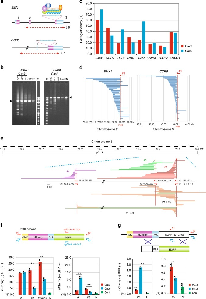 CRISPR-Cas3 facilitates a large deletion at endogenous targeted loci in 293T cells. a Schematic of the CRISPR-Cas3 system targeting human EMX1 and CCR5 loci. Primer sets (red arrows) used for a 3.7 kb PCR product of EMX1 and a 9.7 kb PCR product of CCR5 are shown. b Electrophoresis of the PCR products. CRISPR-Cas3 targeting AAG PAM or ATG PAM, but not TTT PAM, mediates deletions (see Supplementary Fig. 5a ). c Comparison of the editing efficiency between Cas3 (red) and Cas9 (blue) via NGS of the PCR amplicons at various target sites (see Supplementary Table 3 ). d Cas3-mediated DNA deletion patterns via microarray-based capture sequencing at EMX1 and CCR5 loci in 293T cells. The deletions (blue bars) are aligned at the starting point of the distal end. e Microarray-based capture sequencing with Cas3/crRNAs (#1–6) targeting a 1-Mb region at the CCR5 loci (see Supplementary Fig. 11 for EMX1 loci). Cas3-mediated DNA deletion patterns are aligned with human genome assembly hg38. Dual crRNA (#1 and #5 or #6) are used for sticking in the interval region. f A surrogate reporter assay using mCherry-2A-EGFP plasmids to characterize Cas3-mediated knockouts in f or knock-ins in g . crRNA #1 (red arrows)/sgRNA (blue arrows) were designed at EGFP-coding sequences, and crRNAs/sgRNAs #2 and #3 were outside the coding sequences (see Supplementary Table 9 ). Data are presented as mean ± SD. * P