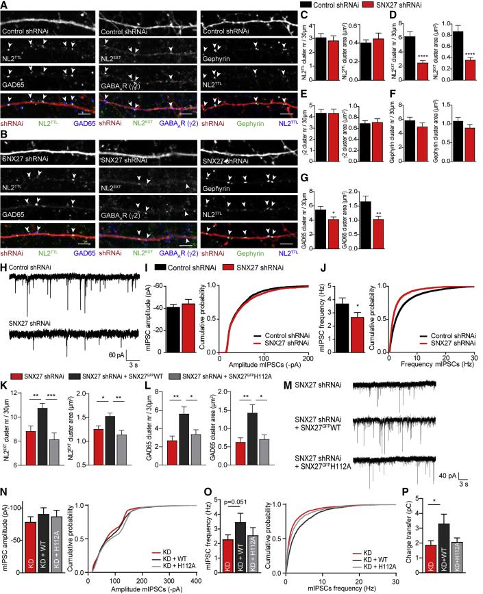 SNX27 Knockdown Decreases Synaptic NL2 and Disrupts Inhibitory Signaling (A and B) Confocal images of 30 μm dendritic sections of hippocampal neurons, overexpressing control shRNAi (A) or SNX27-specific shRNAi (B). Neurons were stained as in Figures 3 A–3C. Arrowheads show synaptic clusters. Scale bar, 4 μm. (C–G) Quantification of cluster number (left) and area (right) in hippocampal neurons transfected as in (A) and (B). Quantified are NL2 TTL (C) (n = 19 and 17; cluster number, unpaired two-tailed t test; cluster area, Mann-Whitney test), NL2 EXT (D) (n = 36 and 37; Mann-Whitney tests), γ2 (E) (n = 20 and 19; unpaired two-tailed t tests), gephyrin (F) (n = 19 and 17; Mann-Whitney tests), and GAD65 (G) (n = 27; cluster number, Mann-Whitney test; cluster area, unpaired two-tailed t test). (H) Representative traces of mIPSC patch-clamp recordings from hippocampal cultures overexpressing control or SNX27-specific shRNAi. (I and J) Pooled data (left) and cumulative probability (right) of mIPSC amplitude (I) and frequency (J) (n = 23 and 20; unpaired one-tailed t tests). (K and L) Quantification of cluster number (left) and area (right) in hippocampal neurons transfected with SNX27-specific shRNAi alone (red) or combined with RNAi-resistant SNX27 GFP WT (black) or SNX27 GFP H112A (gray). Quantified are NL2 EXT (K) (n = 22, 23, and 19; one-way ANOVA with Bonferroni's correction) and GAD65 (L) (n = 23, 22, and 28; Kruskal-Wallis test with Dunn's correction). See Figures S4 I and S4J for quantification of γ2 and gephyrin. (M) Representative traces of mIPSC patch-clamp recordings from hippocampal cultures overexpressing SNX27-specific shRNAi alone (KD) or combined with RNAi-resistant SNX27 GFP WT (KD+WT) or SNX27 GFP H112A (KD+H112A). (N and O) Pooled data (left) and cumulative probability (right) of mIPSC amplitude (N) and frequency (O) (n = 14, 14, and 13; unpaired one-tailed t tests). (P) Quantification of mIPSC charge transfer (unpaired one-tailed t tests). Values are 