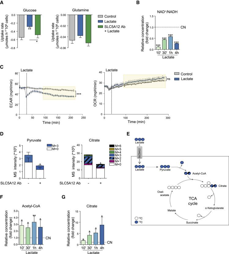 Lactate Uptake by CD4 + T Cells Impacts Intracellular Utilization of Central Carbon Metabolic Pathways (A) Glucose and glutamine uptake rates for CD4 + T cells isolated from HC PBMCs, then activated with anti-CD3 and anti-CD28 mAbs for 24 h followed by further 48-h culture with lactate alone or in the presence of SLC5A12 Ab, or left untreated, in medium containing low glucose (5 mM) and 5% FBS (n = 3, each in duplicate). (B) NAD + and NADH intracellular levels in CD4 + T cells (n = 2) treated with sodium lactate (10 mM) for the indicated time points after 72-h activation and shown as NAD + /NADH ratio. Lactate-untreated CD4 + T cells (CN, dotted line) set to 1. (C) Seahorse measurements of extracellular acidification (left) and oxygen consumption (right) rates (ECAR and OCR, respectively) by 12-h-activated CD4 + T cells (n = 3, technical replicates). 1 h prior to the experiment, cells were seeded in a 96-well microplate in XF Assay medium in the presence of 10 mM of glucose. Sodium lactate (10 mM) or PBS was injected during measurement. Data representative of n = 2 independent experiments. (D and E) 13 C tracing of [U 13 C]-lactate into pyruvate and citrate. Activated CD4 + T cells were incubated for 48 h with [U 13 C]-lactate in the presence or absence of SLC5A12 Ab in medium containing low glucose (5 mM) and 5% FBS (n = 2, each in duplicate). Polar metabolites were extracted, analyzed by LC-MS and peak areas of mass isotopologues normalized to cell number are represented. (F and G) Acetyl-CoA (F) and citrate (G) intracellular levels in CD4 + T cells (n = 3) treated with sodium lactate (10 mM) for the indicated time points after 72-h activation. Lactate-untreated CD4 + T cells (CN, dotted line) set to 1. Two tailed Student's t test. Data expressed as mean ± SEM. ∗ p ≤ 0.05; ∗∗ p ≤ 0.01; ∗∗∗ p ≤ 0.001.