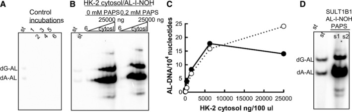 Activation of AL‐I‐NOH in AL‐DNA by HK‐2 cytosols, fortified, and not fortified by PAPS. Cytosols from HK‐2 cells (6; 25; 100; 400; 1500; 6250 and 25,000 ng/100 μL) or recombinant SULT1B1 protein (1 ng/100 μL) were incubated with 100 μM AL‐I‐NOH in the presence of ssDNA with or without 0.2 mM PAPS for 2 h at 37°C. DNA was extracted and two micrograms from each sample was subjected to adduct analysis as described in the section Materials and Methods. (A), (B), and (D) are representative fragments of polyacrylamide gels following electrophoresis and exposure for 2 (A and B) or 10 min (D) on a phosphoscreen. (A) and (B) are unaltered fragments of the same gel shown at the same contrast, and analysis in (D) was done in a separate experiment and shown at the similar contrast level but longer exposure time. Control 1 in (A) is DNA/cytosol; Control 2—DNA/AA‐I; Controls 3–5—DNA/AL‐I‐NOH; Control 6—DNA/AL‐I‐NOH/PAPS. AL‐DNA levels in control incubations with AL‐I‐NOH were at 0.2 ± 0.02 adducts/10 6 nucleotides. (C) Quantitative representation of results shown in (B). Filled circles—reactions with PAPS; empty circles—without PAPS. (D) s1 (8 AL‐DNA/10 5 nucleotides) and s2 (6 AL‐DNA/10 5 nucleotides) represent adducted DNA from reactions conducted with PAPS from R D and Sigma‐Aldrich, respectively. St—standard mixture of oligonucleotides containing dG‐AL‐II and dA‐AL‐II adducts, 30 fmol each. AL‐DNA is a combined term for dG‐AL and dA‐AL adducts.