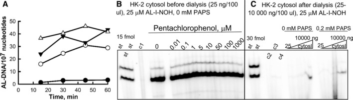 Effect of dialysis on 10 kDa MWCO and pentachlorophenol on activation of AL‐I‐NOH in AL‐DNA by HK‐2 cytosols. (A) Cytosols from HK‐2 cells (25 ng/100 μL) were incubated with 1 (filled circles), 10 (empty circles), 25 (filled triangles), or 50 μM (empty triangles) AL‐I‐NOH in the presence of ssDNA for 15–60 min at 37°C. DNA was extracted and five micrograms from each sample was subjected to adduct analysis as described in the section Materials and Methods. Results are presented as the dependence of AL‐DNA (dG‐AL and dA‐AL adducts) levels on the reaction time. (B) HK‐2 cytosols were incubated with AL‐I‐NOH and ssDNA in the presence and absence of pentachlorophenol <t>(PCP)</t> for 30 min as indicated. Each reaction with PCP was conducted in duplicate, and reaction without PCP was set in triplicate. A fragment of representative PAGE with DNA adduct analysis for five microgram of DNA is shown. AL‐DNA levels without PCP were 58 ± 4 adducts per 10 7 nucleotides, and 60 ± 4 with PCP, combined across all concentrations of PCP. c1‐ssDNA incubated with AL‐I‐NOH. C. HK‐2 cytosol was dialyzed on 10 MWCO membrane against Tris–HCl buffer (pH 7.5) overnight at 4°C. The protein amount was quantified by Bradford assay, and various amount of protein (25 ng, 50 ng, 200 ng, 1000, 5000, 10,000 and 25,000/100 μL) was incubated with ssDNA and AL‐I‐NOH with or without <t>PAPS</t> for 30 min. c2—DNA; c3—DNA, AL‐I‐NOH; c4—DNA, AL‐I‐NOH, PAPS. St‐ standard mixture of oligonucleotides containing dG‐AL‐II and dA‐AL‐II adducts, 15 and 30 fmol each. AL‐DNA levels were 0.3 (25 ng protein) and 8 (10,000 ng protein) adducts per 10 7 nucleotides, which is ~500‐times less than before dialysis. Reactions in (B) and (C) were conducted in parallel and analyzed in the same digestion assay and resolved on the same gel. The vertical line was introduced manually to indicate the border between two different experiments. Upper band is dG‐AL, lower band is dA‐AL.