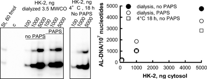 Effect of dialysis on 3.5 kDa MWCO and prolonged incubation at 4°C on activation of AL‐I‐NOH in AL‐DNA by HK‐2 cytosols. Cytosols from HK‐2 cells were dialyzed against Tris–HCl buffer (pH 7.5) using 3.5 MWCO membrane overnight at 4°C. In parallel, a portion of cytosol was incubated above the membrane without the dialysis overnight at 4°C. 100–5000 ng of the protein was incubated with ssDNA and 100 μM AL‐I‐NOH with or without PAPS, as indicated. Reactions were allowed to run for 45 min at 37°C. DNA (5 μg) was used for adduct analysis. Fragments of PAGE (left panel) and quantification of obtained results (right panel) are shown. St‐ mixture of standard at 60 fmol each. Upper band is dG‐AL, and lower band is dA‐AL.