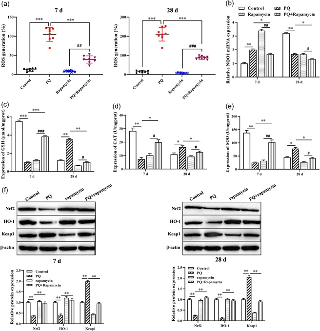 Rapamycin suppresses PQ‐induced oxidant stress in pulmonary fibrosis. (a) The expression of ROS level was detected by DCFH‐DA assay. (b) RT‐qPCR was used to measure the expression of NQO1. (c–e) The levels of GSH and CAT, and SOD activity were evaluated by ELISA kit. (f) Western blot was applied to detect the expression of Nrf2, HO‐1, and Keap1 proteins. * p
