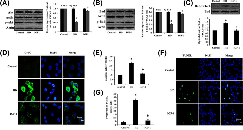 IGF-1 inhibition of HD-induced mitochondrial apoptosis via the PI3K/Akt signaling pathway in the VSC4.1 cells VSC4.1 cells were exposed to 10 mM 2,5-HD, 10 mM 2,5-HD + 50 ng/ml IGF-1 for 24 h. Western blot analysis was used to detect Akt, p-Akt, Bad and p-Bad protein expression. ( A and B ) Detection of expression levels of Akt and p-Akt (A) or Bad and p-Bad (B), respectively. Data are presented as mean ± S.D. ( n =3). ( C ) Examination of the dimerization of Bad/Bcl-xL complex in the mitochondria using Co-IP. ( D ) Immunofluorescence test for Cyt c release in VSC4.1 cells. ( E ) The detection of caspase-3 activity. ( F ) TUNEL labeling with DAPI counter staining was performed to detect apoptotic cells in VSC4.1 cells. ( G ) Quantification of the abundance ratio of TUNEL-positive cells in each condition. a P