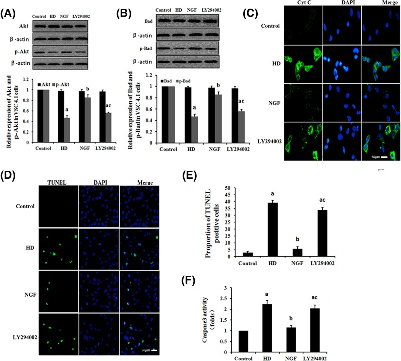 The effect of NGF on HD-induced mitochondrial apoptosis via the PI3K/Akt signaling pathway VSC4.1 cells were exposed to 10 mM 2,5-HD, 10 mM 2,5-HD + 50 μg/l NGF or 10 mM 2,5-HD + 50 μg/l NGF + 25 μM LY294002 for 24 h. Western blot analysis was used to detect the Akt, p-Akt, Bad and p-Bad protein expression levels. ( A and B ) Detection of expression levels of Akt and p-Akt (A) or Bad and p-Bad (B) in VSC4.1 cells, respectively. Data are presented as mean ± S.D. ( n =3). ( C ) <t>Cyt</t> c was examined by immunofluorescence test in each condition (scale bar = 50 μm). ( D ) TUNEL labeling with DAPI counter staining was performed to detect apoptotic cells in each condition (scale bar = 20 μm). ( E ) Quantification of the abundance ratio of TUNEL-positive cells in each condition. ( F ) Detection of caspase-3 activity in each condition. a P