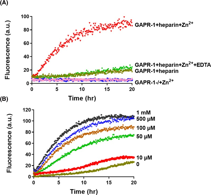 Zn 2+ induces heparin-mediated GAPR-1 amyloid-like aggregation ( A ) Kinetics of <t>ThT</t> fluorescence enhancement of 15 μM GAPR-1 incubated with 37.5 μM heparin and 100 μM Zn 2+ . GAPR-1 incubated in the absence of heparin and/or Zn 2+ and in the presence of 1 mM <t>EDTA</t> are shown as controls. ( B ) ThT fluorescence enhancement of 15 μM GAPR-1 incubated with 37.5 μM heparin in the presence of increasing concentrations of Zn 2+ (0–1000 μM).