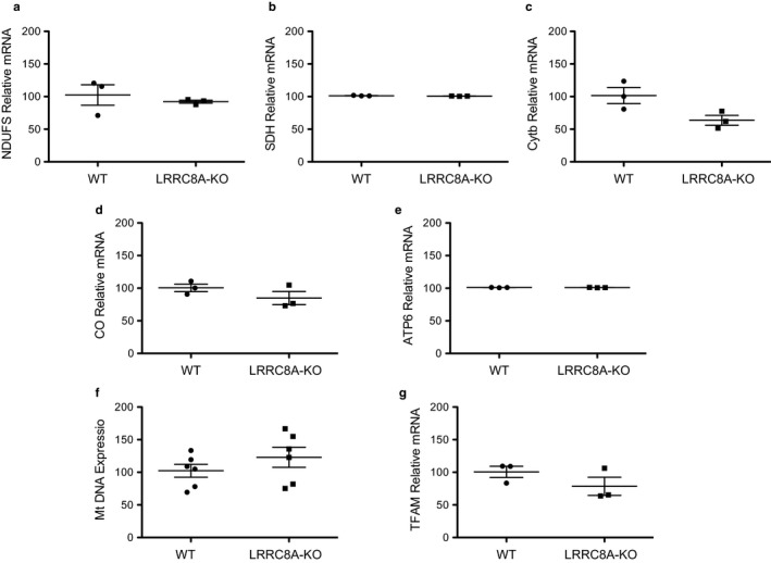 Mitochondrial gene expression is not different between WT and LRRC8A‐KO <t>HAP‐1</t> cells. NADH‐ubiquinone oxidoreductase (NDUFS) complex I (a), Succinate dehydrogenase (SDH) complex II (b), Cytochrome b (cytb) Complex III (c), Cytochrome Oxidase (MT‐CO1) complex IV (d), and mitochondrial encoded ATP synthase membrane subunit 6 (MT‐ATP6) complex V (e) levels in WT and LRRC8A‐KO cells were not significantly different. Mitochondrial <t>DNA</t> (f) and mitochondrial transcription factor A (TFAM) expression (g) were also not significantly different between the two groups ( n = 3)