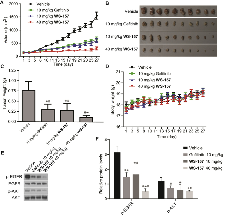 In vivo antitumor effects of compound WS-157 . Effect of WS-157 (10, 40 mg/kg/d) or gefitinib (10 mg/kg/d) on growth of A431 human tumor xenografts for 28 days. (A) Tumor volume during the administration period. (B) Tumor sizes. (C) Tumor weight. (D) Body weight of mice. (E) and (F) The tumor tissue protein was extracted and p-EGFR and p-AKT was detected by Western blot. The data shown represent the mean ± SD. ∗∗ P