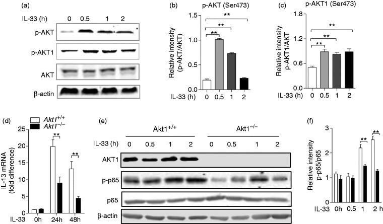 Akt and Akt1 were phosphorylated, and Akt1 is required for IL-13 production in macrophages by IL-33 stimulation. (a) Akt1 +/+ bone marrow–derived macrophages (BMDMs) were challenged with IL-33 (10 ng/ml) for 2 h. Phospho-Akt (Ser473), Akt, Phospho-Akt1 (Ser473) and β-actin were measured by Western blot. Quantitative analysis of the relative expression levels of phosphorylated (b) Akt and (c) phosphorylated Akt1 against total AKT using ImageJ software. (d) Akt1 +/+ and Akt1 –/– BMDMs were treated with IL-33 (10 ng/ml) for 24 and 48 h. The mRNA level of IL-13 was detected by quantitative RT-PCR. (e) The Akt1 +/+ and Akt1 –/– BMDMs were challenged with IL-33 (10 ng/ml) for 2 h. Phospho-Akt1, Phospho-p65 (Ser536), p65 and β-actin were measured by Western blot. (f) Quantitative analysis of the relative expression levels of phosphorylated p65 against total p65 using ImageJ software. Data are shown as means ± SEM. * P