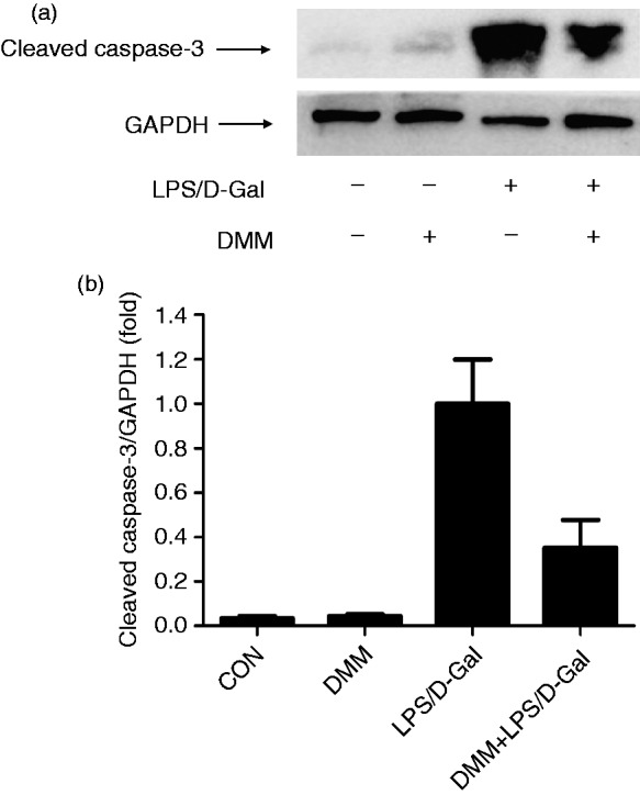 DMM decreased the level of cleaved caspase-3 induced by LPS/ d -GalN. (a) The cleaved caspase-3 in liver was measured by Western blot analysis 6 h after LPS/ d -GalN injection. GAPDH was used as the internal control. (b) The blots were scanned and semi-quantified. n = 4. * P