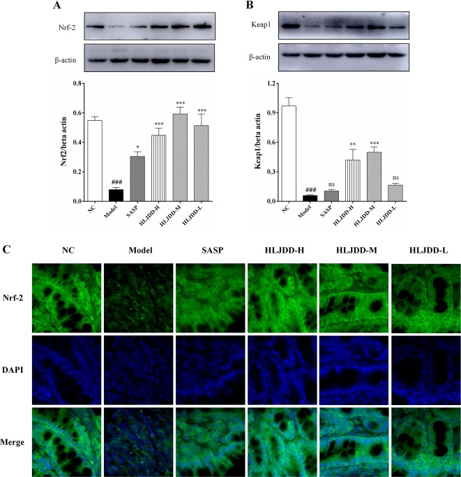 The regulation effect of HLJDD on Nrf2 signaling pathway. HLJDD therapy up-regulates the expression of key proteins Nrf2 (A) and Keap1 (B) involved in the Nrf2 signaling pathway in colon; (C) Immunofluorescence analysis of Nrf2 (green) in colon mucosa (600 × magnification). DAPI was used for nuclear staining (blue). Data are expressed as the mean ± SD, n = 5 per group. ### p