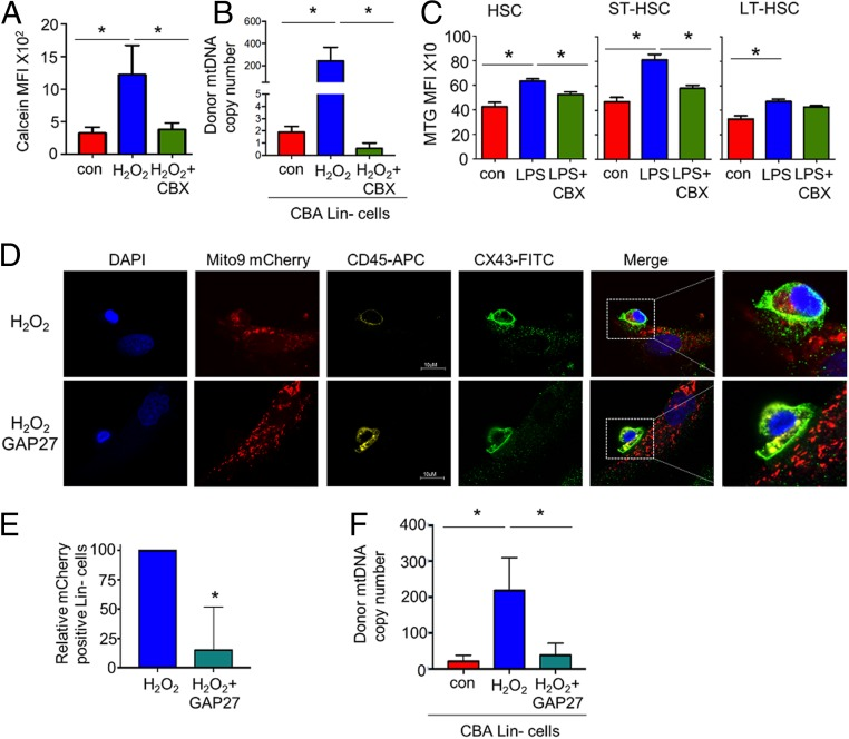Connexin channels regulate mitochondrial movement from BMSCs to HSCs. ( A ) Flow cytometry-based analysis of lineage-negative cells cocultured with mBMSC stained with calcein. The cocultures were treated with 10 µM H 2 O 2 or carbenoxolone and 10 µM H 2 O 2 for 24 h, and the lineage-negative cells were removed and analyzed for calcein mean fluorescence intensity (MFI). ( B ) CBA-derived lineage-negative cells and PepCboy-derived BMSCs were cocultured with H 2 O 2 or carbenoxolone and 10 µM H 2 O 2 for 24 h. The lineage-negative cells were removed and analyzed for C57BL/6 SNP mtDNA in CBA lineage-negative cells by TaqMan PCR using ND3 probes. ( C ) C57BL/6 mice were subjected to carbenoxolone (CBX) pretreatment before LPS or control PBS i.p. injections. After 2 h the mice were killed, and the BM was extracted. The populations were analyzed by flow cytometry for mean MTG fluorescence intensity within each population. ( D ) Immunofluorescent staining of CX43 of lineage-negative cells and BMSCs cocultured with 10 µM H 2 O 2 with and without pretreatment with GAP27 (100 µM). (Magnification: D , 63×.) ( E ) Quantification of images shown in E numbers of lineage-negative cells positive for mito-9 mCherry. ( F ) CBA lineage-negative cells cocultured with C57 mBMSC. The cocultures were treated with 10 µM H 2 O 2 or GAP27 (100 µM) for 24 h, and the lineage-negative cells were removed and analyzed for SNP mtDNA in CBA lineage-negative cells by TaqMan PCR using ND3 probes. * P