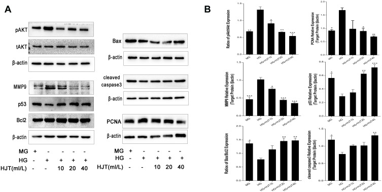 Western blotting studies. ( A ). Western blotting analysis of pAKT, tAKT, PCNA, MMP9, <t>Bcl-2,</t> Bax, p53, cleaved caspase-3 with β-actin as an internal reference. ( B ). Quantification of the Western blotting results. Data was presented as the mean ± SD. *p