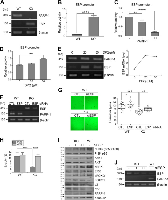 PARP-1 negatively regulated the expression of ESP. a mRNA level of ESP was examined in the PARP-1 WT and KO NSCs by RT-PCR. β-Actin served as an internal control. b – d ESP promoter-luciferase activity was determined in the PARP-1 NSCs (B; n = 5); in the NSCs following overexpression of PARP-1 ( c : n = 5); in the NSCs incubated with DPQ ( d: n = 4). e mRNA level of ESP after DPQ treatment was determined in the NSCs by RT-PCR. f–h PARP-1 NSCs were incubated to form neurospheres following transfection of siRNA for ESP. Knockdown of ESP was confirmed by RT-PCR ( f ). g Representative images of ESP-knocked down NSCs are shown (scale bar = 200 μm) and the quantification of the neurosphere diameter is shown in the right panel (WT, n = 26 each; KO, n = 27 each; data pooled from four independent cultures). h PARP-1 NSCs were transfected with ESP siRNA and then the rate of proliferation was monitored by BrdU labeling (WT CTL, n = 7; WT siESP, n = 6; KO CTL, n = 15; KO siESP, n = 7; data pooled from two independent cultures). i – j Activation of PI3K, Akt, and ERK was examined by immunoblotting following knockdown of ESP in the PARP-1 KO NSCs. The membranes were reprobed to examine the changes in the level of p21, p27 and phospho-FOXO1. A blot with anti-tubulin served as a loading control. Molecular weights on the left in kDa ( i ). ESP knockdown was confirmed by RT-PCR ( j ). Bar graphs show means ± SD and box plots show median, boxed 25 and 75% percentiles and whiskers 10 and 90% percentiles ( b : two-tailed unpaired t -test; c , g : one-way ANOVA with Bonferroni post hoc comparisons; d : Kruskal–Wallis test with Dunn's post hoc comparisons; h : two-way ANOVA with Bonferroni post hoc comparisons; ** p