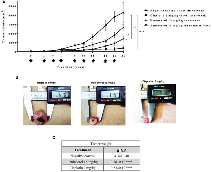 Antitumor activity evaluation of peniocerol three times a week for 21 day administration in nu/nu mice. Treatment scheme: Three times a week for 21 days, a total of nine administrations were performed, when the tumor reached an approximate volume of 50 mm 3 , on days 0, 2, 4, 7, 9, 11, 14, 16, and 18. The animals were sacrificed on day 21. (A) Antitumor activity graph. Groups of six nu/nu mice inoculated with 1.5 × 10 6 HCT-116 cells were treated three times a week for 21 days, the doses tested were 30 mg/kg and 15 mg/kg of peniocerol, 2 mg/kg of cisplatin and as a negative control the vehicle was used (sesame oil + 5% DMSO). The size of the tumors was measured three times per week. The bars indicate the standard deviation of the mean * p