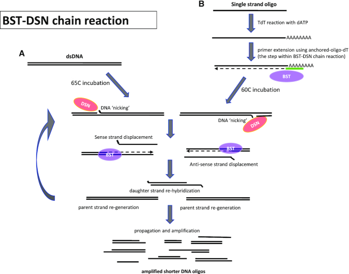 Diagram illustrating the BST–DSN reaction process. ( A ) When dsDNA is used as input in a BST–DSN reaction, the nuclease DSN nicks one strand of dsDNA to create a recognition site for BST polymerase which then synthesizes a complement of the opposite DNA strand while displacing the parent strand. The displaced-sense (or anti-sense) DNA strands subsequently can re-hybridize to complementary strands and form daughter dsDNA. Subsequent DSN nicking and BST amplification generated an exponential amplification of daughter dsDNA while progressively reducing the resulting DNA size. ( B ) When single stranded DNA (ssDNA) or long oligonucleotides are used as input in BST–DSN reaction, the ssDNA is first subjected to a TdT reaction in the presence of dATP to generate a poly-A tail on the 3′ end. The unpurified TdT product is then used as input in a BST–DSN reaction in the presence of an anchored-oligo-dT which is extended by BST to create dsDNA as a first step in the reaction.