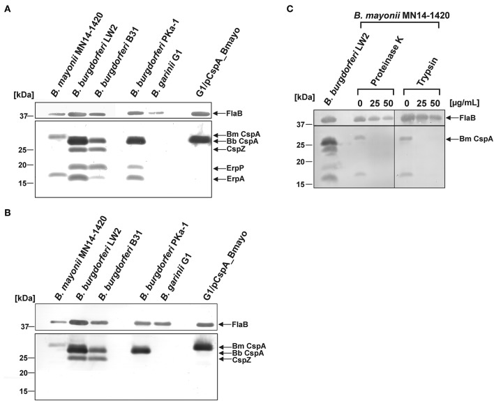 Identification and surface exposure of FH/FHL-1-binding proteins in B. mayonii MN14-1420. (A,B) Detection of FH/FHL-1-binding proteins by Far Western blot analysis using NHS as source of FH and purified FHL-1 (750 ng/ml). Cell lysates obtained from B. mayonii MN14-1420, B. burgdorferi LW2, B. burgdorferi B31, B. burgdorferi PKa-1, B. garinii G1, and transformant G1/pCspA_Bmayo were separated by 10% Tris/tricine-SDS-PAGE and transferred onto a nitrocellulose membrane. Flagellin (FlaB) was detected with the monoclonal antibody L41 1C11. The FH-binding proteins (A) were visualized by applying an anti-FH antiserum and FHL-1-binding proteins (B) were detected by using an anti-CCP1-4 antiserum. The corresponding to CspA protein of B. mayonii (Bm) MN14-1420, CspA of B. burgdorferi (Bb) LW2, CspZ, ErpP, and ErpA of B. burgdorferi s.s. are indicated at the right. (C) in situ protease accessibility assay. Native spirochetes were incubated with or without <t>proteinase</t> K or trypsin, then lysed by sonication and total proteins were separated by 10% Tris/tricine-SDS-PAGE. The band corresponding to CspA of B. mayonii is indicated on the right. The mobilities of molecular mass standards are indicated on the left. A full scan of the original membranes is presented in Supplementary Figure 5 .