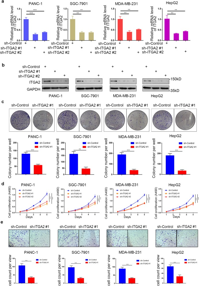 Silencing <t>ITGA2</t> suppresses the aggressive ability of malignant cancer in vitro a and b . RT-PCR ( a ) and Western blot analysis ( b ) of ITGA2 expression in PANC-1, HepG2, SGC-7901, and MDA-MB-231 cells infected with sh-Control or sh-ITGA2s. <t>GAPDH</t> served as an internal reference. Data presented as the mean ± SD of three independent experiments. Each sh-ITGA2 group was compared with sh-Control group. Statistical analyses were performed with one-way ANOVA followed by Tukey's multiple comparison's tests. **, P
