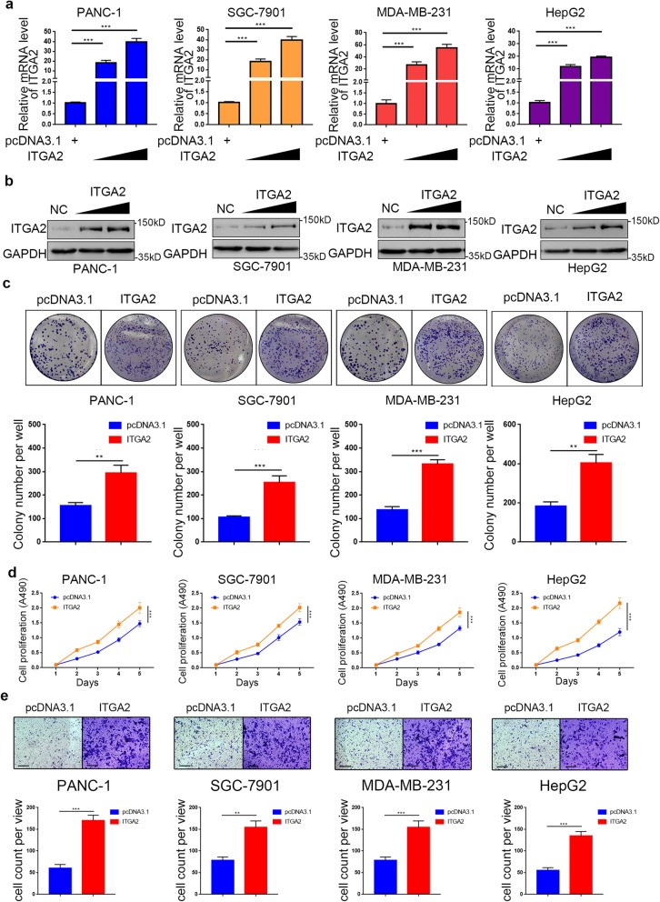 Overpressed ITGA2 promotes the aggressive ability of malignant cancer in vitro. a and b . RT-PCR ( a ) and Western blot analysis ( b ) of ITGA2 expression in PANC-1, HepG2, SGC-7901, and MDA-MB-231 cells with normal or stably overexpressed ITGA2. GAPDH served as an internal reference. Data presented as the mean ± SD of three independent experiments. ITGA2 overexppression groups were compared with pcDNA 3.1 transfection group. Statistical analyses were performed with one-way ANOVA followed by Tukey's multiple comparison's tests. Compared groups were shown in the figures. ***, P