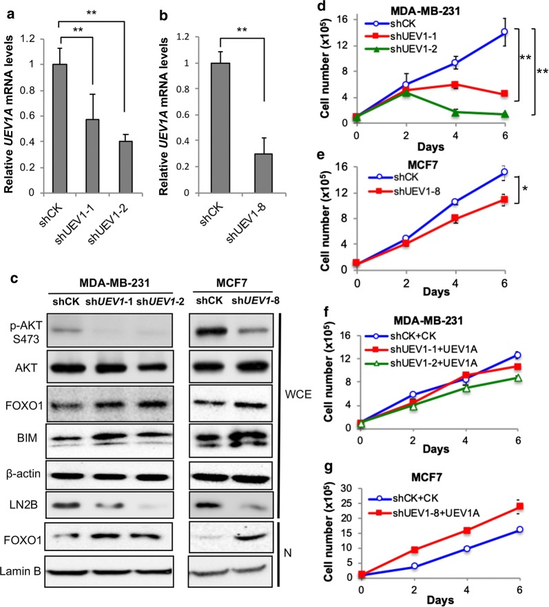 Uev1 depletion inactivates AKT pathway signaling and reduces cell survival under serum starvation conditions in breast cancer cells. MDA-MB-231 or MCF7 cells were transfected with shRNA lentiviral particles against UEV1 (sh UEV1 ) or non-specific target (shCK). shUEV1-1 and shUEV1-2 represent two independent stable shUEV1 MDA-MB-231 cell lines. shUEV1-8 represents a stable shUEV1 MCF7 cell line. a UEV1A transcript levels in shCK and shUEV1 lines were determined by qRT-PCR in MDA-MB-231 cells. b UEV1A transcript levels in shCK and shUEV1 line were determined by qRT-PCR in MCF7 cells. c AKT pathway proteins in whole-cell extracts (WCE) or nuclear fractions (N) were detected by western blot. The endogenous Uev1 was monitored by LN2B antibody. d Growth curve of non-specific target (shCK) and shUEV1 MDA-MB-231 cell lines (shUEV1-1 and shUEV1-2) under serum-deprived conditions. Then cells were harvested and cell numbers were determined as described in Fig. 1 b, c. e Growth curve of non-specific target (shCK) and shUEV1 MCF7 cell line (shUEV1-8) under serum-deprived conditions. Then cells were harvested and cell numbers were determined as described in Fig. 1 b, c. f Two shUEV1 MDA-MB-231 cell lines were transfected with the pcDNA4.0/TO/HA(+) vector expressing UEV1A (shUEV1-1 + UEV1A and shUEV1-2 + UEV1A). Non-specific shRNA targeted MDA-MB-231 cells were also transfected with the pcDNA4.0/TO/HA(+) vector to serve as a control. Cells cultured under serum-deprived conditions were harvested and cell numbers were determined as described in Fig. 1 b, c. g The MCF7 shUEV1-8 cell line was transfected with pcDNA4.0/TO/HA(+) vector expressing UEV1A (shUEV1-8 + UEV1A). The non-specific shRNA targeted MCF7 cells were transfected with the vector alone (shCK + CK). Cells cultured under serum-deprived conditions were harvested and cell numbers were determined as described in Fig. 1 b, c. Each sample was measured in triplicate and repeated at least 2 times. * P