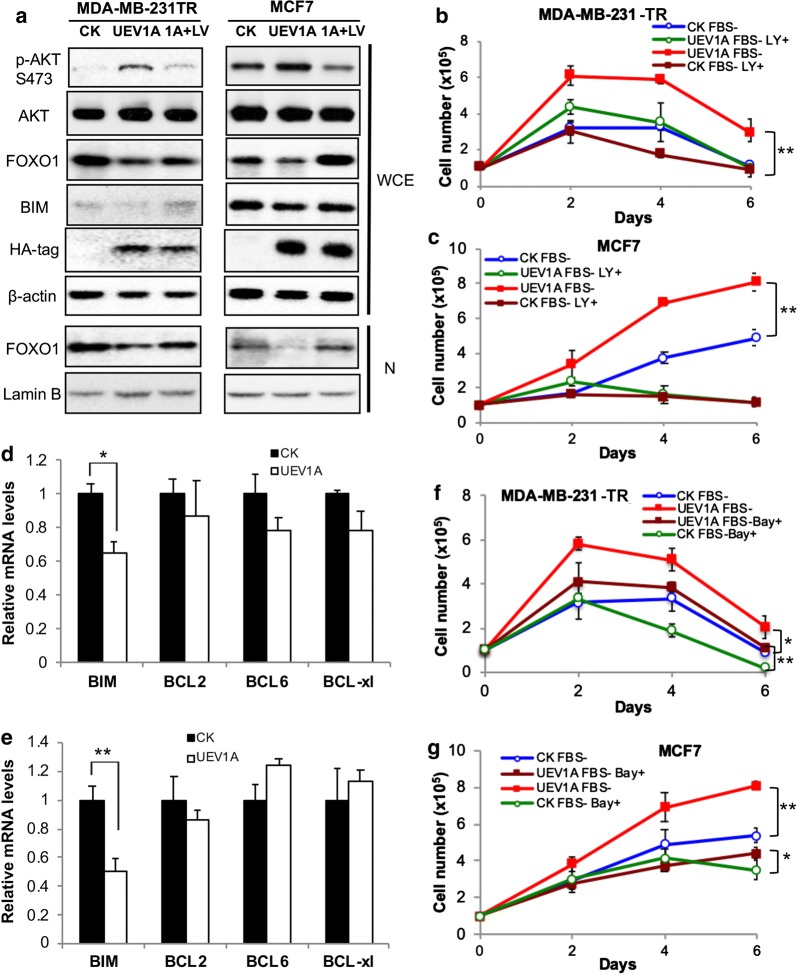 Uev1A promotes cell survival under serum starvation conditions through the AKT but not NF-κB pathway in breast cancer cells. a UEV1A overexpressed MDA-MB-231-TR cells (left panel) and MCF7 cells (right panel) were treated with LY294002. After 24 h, the AKT pathway proteins were examined by western blot in the whole-cell extract (WCE) or nuclear fraction (N) in UEV1A overexpressed cells alone (UEV1A) or treated with 10 μM LY294002 (1A + LY), or vector only (CK). The expression levels of ectopic Uev1A were monitored by an anti-HA antibody. b , c Growth curve of control (CK) and UEV1A -overexpressed MDA-MB-231-TR ( b ) and MCF7 ( c ) cells under serum-deprived conditions. Experimental conditions were as described in Fig. 2 c except that some cells were treated with 10 μM LY294002 (LY+). d , e Effects of UEV1A overexpression on the expression of selected FOXO1 target genes. Transcript levels of putative FOXO1 target genes in MDA-MB-231-TR ( d ) or MCF7 ( e ) cells overexpressing UEV1A as determined by qRT-PCR. f , g Growth curve of control (CK) and UEV1A -overexpressed MDA-MB-231-TR ( f ) and MCF7 ( g ) cells under serum-deprived conditions. Experimental conditions were as described in Fig. 2 c except that some cells were treated with 40 μM Bay11-7082 (Bay+). Each sample was measured in triplicate and repeated at least 2 times. * P