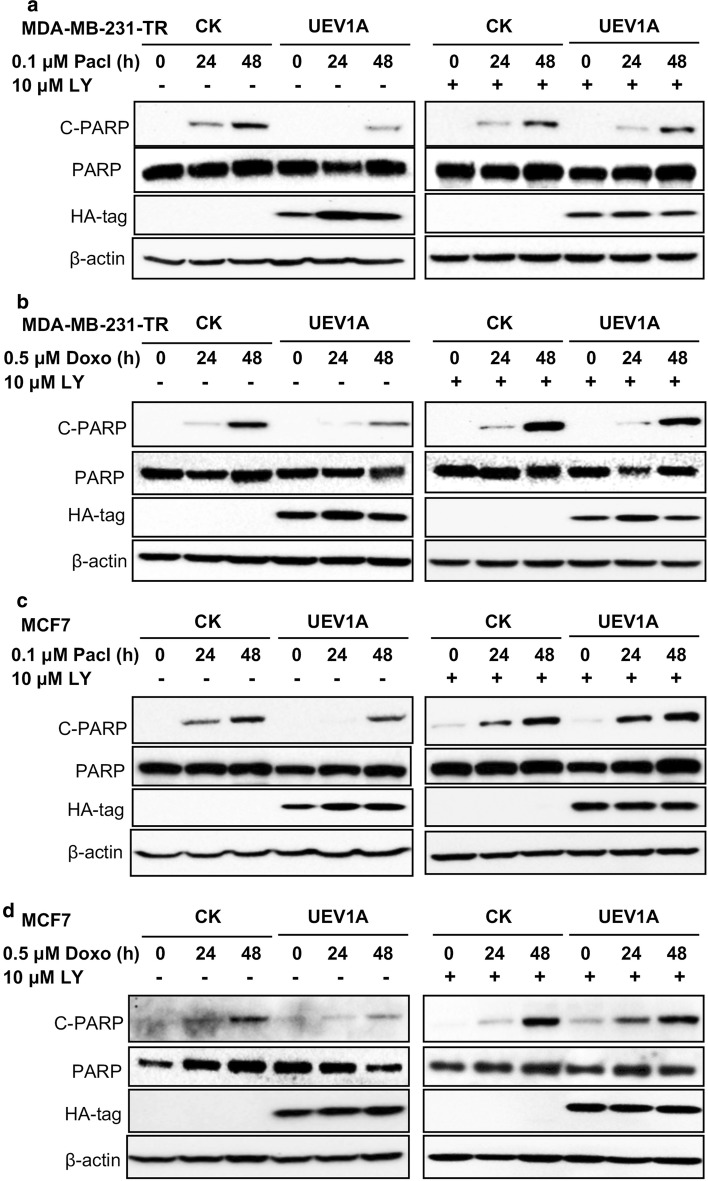 Uev1A inhibits apoptosis through the AKT pathway in breast cancer cells. a , b UEV1A -overexpressed or vector control MDA-MB-231-TR cells with Paclitaxel (Pacl) ( a ) or Doxorubicin (Doxo) ( b ). c , d UEV1A -overexpressed or vector control MCF7 cells with Paclitaxel (Pacl) ( c ) or Doxorubicin (Doxo) ( d ). Cells were pretreated with (right panel) or without (left panel) 10 µM LY294002 (LY) for 12 h and then exposed to Paclitaxel or Doxorubicin, harvested at different time points and the protein levels of total PARP and cleaved-PARP (C-PARP) were detected by western blot. The ectopic Uev1A was monitored by an anti-HA antibody