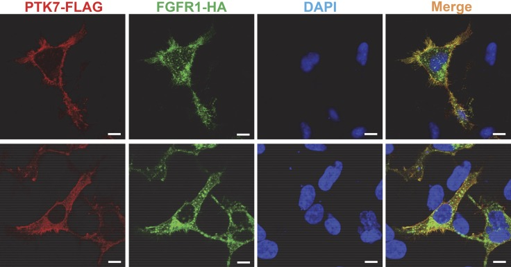 Colocalization of PTK7 and FGFR1 in HEK293 cells. Serum-depleted HEK293 cells transiently expressing PTK7-FLAG and FGFR1-HA were fixed, permeabilized, and stained with mouse anti-FLAG, rabbit anti-HA antibodies, Alexa Fluor Rhodamine Red-conjugated goat anti-mouse IgG, Alexa Fluor 488–conjugated goat anti-rabbit IgG antibodies, and DAPI. The fluorescence signals were analyzed by confocal fluorescence microscopy. The confocal images on the upper and lower panels were taken at the bottom and in the middle of the cells, respectively. Scale bars, 10 μm.