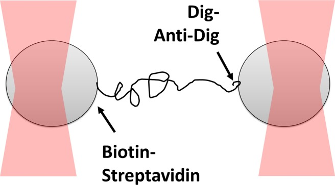 Dual optical trap assay to measure the rupture force for digoxigenin:anti-digoxigenin interaction. Two polystyrene beads are bound to the opposite ends of 1,565 bp DNA through biotin-streptavidin linkage and digoxigenin:anti-digoxigenin linkage, which is the weaker of the two. The beads are captured in optical traps and are pulled away from one another until the digoxigenin:anti-digoxigenin linkage ruptures.