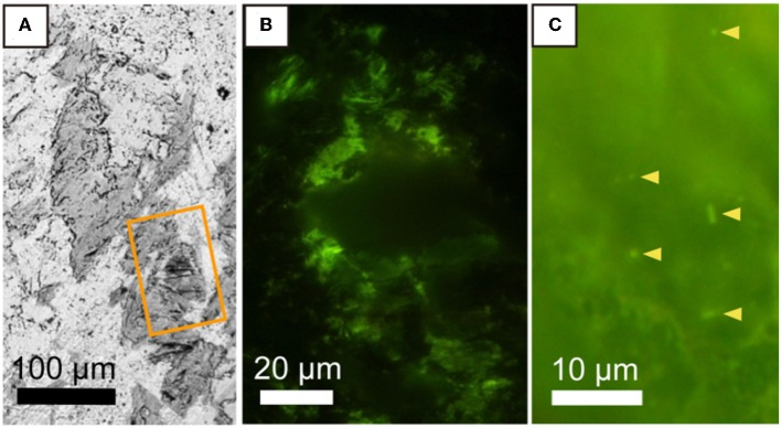 Microbial distribution in a saponite-bearing locus near basaltic groundmass revealed by staining of a thin section with <t>SYBR-Green</t> I. (A) Back-scattered electron image of saponite aggregates enlarged from Figure 2B . An orange rectangle indicates the area shown in (B) . Fluorescence microscopy images of SYBR Green I-stained microbial cells associated with saponite in a 100-μm thin section of a rock piece (B) and in a 3-μm thin section of a clay fraction (C) .