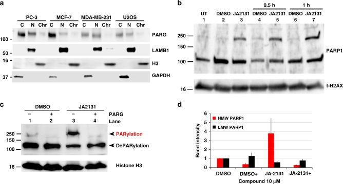 JA2131 induces hyperPARylation of PARP1 . a  Subcellular PARG protein expression patterns in cultured cells. Subcellular fractionated lysates were immunoblotted with anti-PARG, (upper panel) followed by nuclear (N) marker anti- Laminin Subunit Beta 1 (LAMB1, upper middle panel), chromatin (Chr) marker anti-Histone H3 (H3, lower middle panel) and the cytoplasmic (C) marker anti- Glyceraldehyde 3-phosphate dehydrogenase (GAPDH, lower panel)  b  PC3 cells were treated with DMSO or PARG inhibitor JA2131 (2131) for 2h then irradiated with 7Gy and allowed to recover for 0.5h or 1.0h before lysis and subcellular fractionation. Chromatin bound cell-extracts were analyzed with anti-PARP1 antibody (upper panel) followed by probing with total Histone H2AX (t-H2AX, lower panel) as the loading control.  c  DMSO or 2131-treated PC3 cells were irradiated and recovered for 2h as above, chromatin fractions were then incubated with or without purified PARG enzyme (±PARG) for 30min at 37°C then immunoblotted with anti-PARP1 (upper panel) and then with anti-histone H3 (lower panel) as loading control.  d  Quantitative analysis of western blot of  b , where expression of PARP1 levels in DMSO treated was normalized to 1. High molecular weight (HMW) in red PARP1 is significantly decreased in the presence of purified truncated PARG protein. The low molecular weight in black PARP1 bands are not significantly affected,  n =3. Plus denotes added purified PARG enzyme. Source Data are provided as a Source Data file.