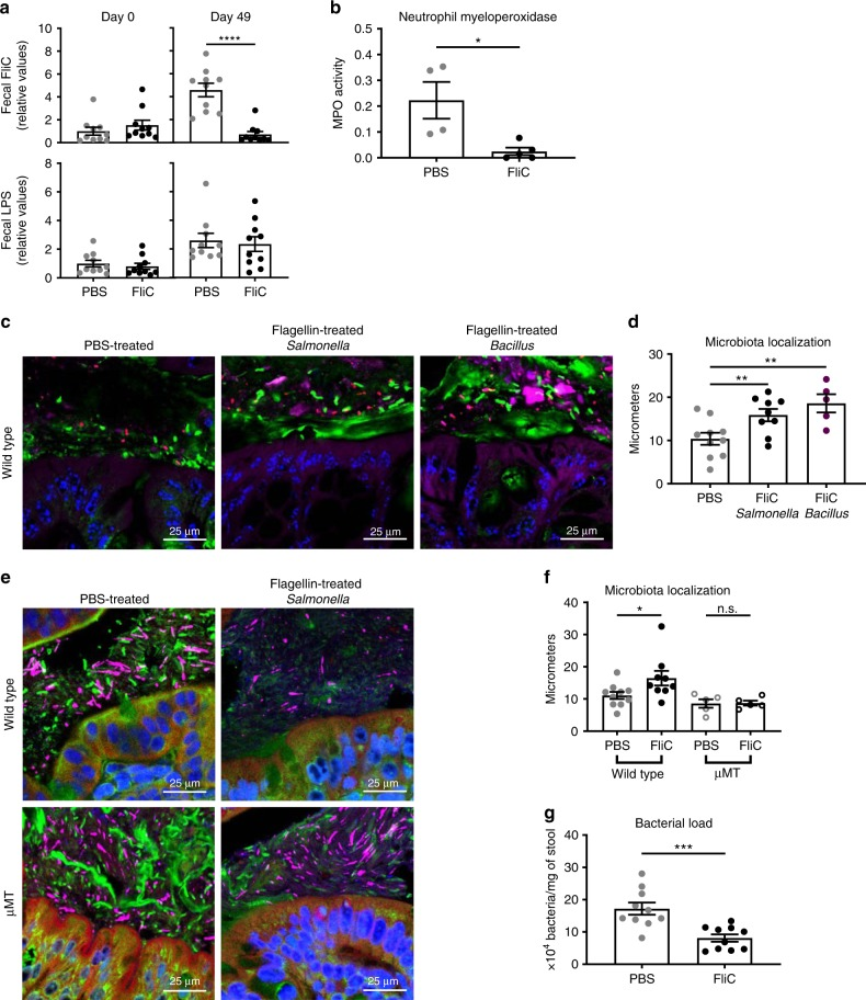 Flagellin administration alters the intestinal microbiota toward a lower pro-inflammatory state. a Fecal pro-inflammatory potential was analyzed using HEK 293 cells expressing mTLR5 or mTLR4 measuring bioactive flagellin and lipopolysaccharide, respectively. b Colonic myeloperoxidase quantification of 4-week old, wild-type C57BL/6 J mice after receiving either vehicle or 10 μg of flagellin by intraperitoneal injections weekly for 9 weeks. c – f Colonic microbiota localization analysis of wild type and μMT mice treated with PBS, Salmonella -derived flagellin, or Bacillus -derived flagellin. c , e Confocal microscopy analysis of colonic microbiota localization; Muc2 (green), actin (purple), bacteria (red), and DNA (blue). d , f Distances of closest bacteria to colonic intestinal epithelial cells (IEC) per condition over 2–3 high-powered fields per mouse. g Fecal bacterial load determined by qPCR analysis of 16 S bacterial DNA in the fecal contents of mice treated with PBS or flagellin. Data are the means ±S.E.M. Significance was determined using t test (* p ≤ 0.05 ** p ≤ 0.01 *** p ≤ 0.001 **** p ≤ 0.0001, n.s. indicates non-significant). ( N =4–5 mice from one out of three representative experiment). Source data are provided as a Source Data file.