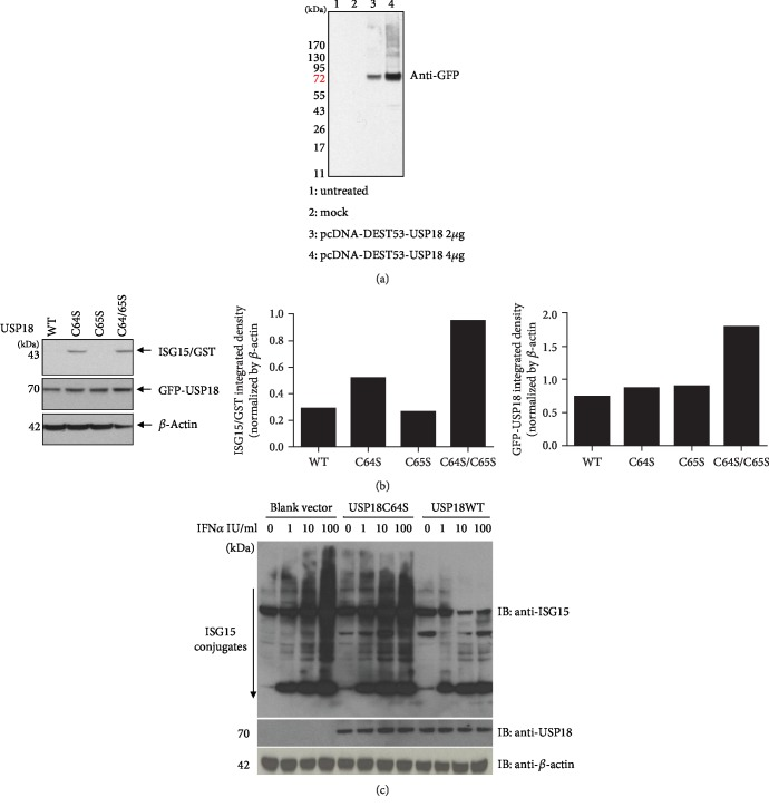Human USP18 expression and catalytic activity in Huh7.5 cells. (a) Huh7.5 cells were seeded at 3 × 10 5 /ml, 2 ml per well in 6-well plates in antibiotic-free medium for 24 hours before 4 μ g empty vector pcDNA-DEST53, 2 μ g USP18 WT, or 4 μ g USP18 WT was transfected into each well. 48 hours posttransfection, total protein was extracted to detect GFP tag by western blot. (b) Cleavage of ISG15-GST fusion in vitro. Huh7.5 cells were transfected with various USP18 plasmids (wild-type USP18, WT; USP18 C64S, C64S; USP18 C65S, C65S; or USP18 C64/65S, C64/65S) in combination with ISG15-GST. 48 hours posttransfection, total protein was extracted to detect ISG15 and USP18 by western blot. (c) Cleavage of ISG15 conjugates in IFN α -treated Huh7.5 cells. Huh7.5 cells were transfected with an empty vector (vector), USP18 WT, or USP18 C64S. 24 hrs later, the cells were treated with IFN α (0-100 U/ml) for 24 hours, after which western bot was performed to analyze expressions of ISG15 conjugates and USP18. Untreated: untreated control; mock: transfected with 4 μ g empty vector pcDNA-DEST53; pcDNA-DEST53-USP18: transfected with wild-type USP18 (USP18 WT).