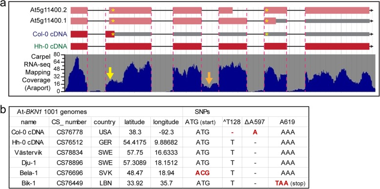 A. thaliana BKN1 gene models and ecotype polymorphisms. a. A. thaliana BKN1 gene models are shown with carpel RNA-Seq mapping coverage from Araport [ 45 ]. Yellow astericks (*) mark two in/del SNPs in Col-0 BKN1 when compared to Hh-0 BKN1 and A. lyrata BKN1 . For the BNK1 Col-0 gene annotations and cDNA, the first asterisk marks a 1 bp deletion (T) resulting in an adjacent premature stop codon and the second asterisk marks a 1 bp insertion (A) that would result in a downstream premature stop codon for the At5g11400.1 annotation. Based on the reduced carpel RNA-Seq coverage at the 5′ end of the BKN1 exon 2, there may be alternate splice sites in use (yellow arrow) and some of these potential alternate splice junctions would restore the BKN1 Col-0 reading frame to produce a longer protein as predicted for the At5g11400.1 and At5g11400.2 annotations. See also Additional file 1 : Figure S3 and S4. The orange arrow delineates the third intron that is not properly spliced in the top RT-PCR band in Fig. 1b . b. A. thaliana BKN1 polymorphisms in different ecotypes. In addition to Hh-0, Västervik and Dju-1 are predicted to encode a full length BKN1 protein (based on genomic sequencing). Bela-1 and Bik-1 displayed other SNPs that disrupt the BKN1 open reading frame (see also Additional file 1 : Figure S6)
