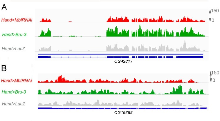 The expression levels of CG42617 and CG16868 , two additional α2δ protein-coding genes are not affected in the heart of DM1 fly models. Normalized RNAseq IGV tracks in control ( Hand > lacZ ) and in pathogenic DM1 contexts ( Hand > MblRNAi and Hand > Bru-3 ) are shown aligned with genomic exon/intron organization of CG42617 ( A ) and CG16868 ( B ).