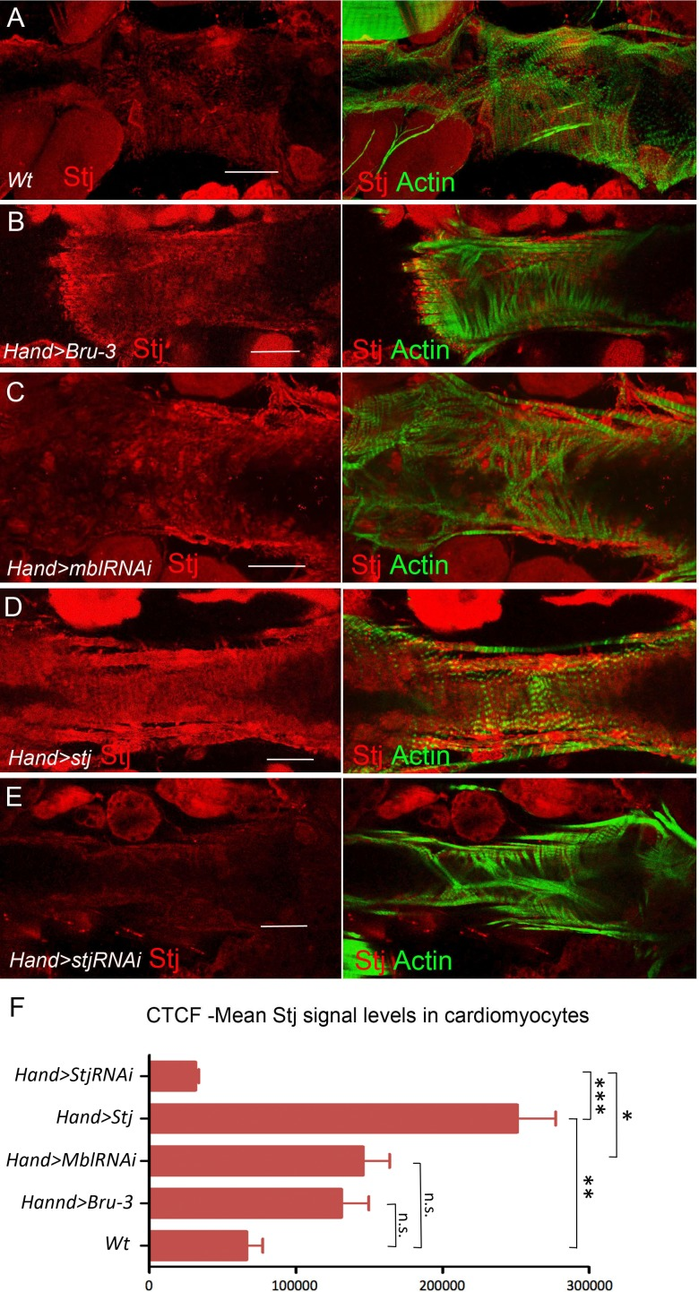 Stj protein levels in different genetic contexts visualized by immunostaining. Stj protein expression (red) in circular fibers of cardiomyocytes in wild-type (wt) ( A ) and in different genetic contexts ( B-E ) tested. Circular fibers are visualized with phalloidin staining (green). Notice that Stj protein levels appear higher in Hand > Bru-3 and in Hand > MblRNAi compared to wt. High signal level in Hand > stj and loss of signal in Hand > stjRNAi demonstrate also the specificity of stj antibody. Scale bars, 50 μm. ( F ) Corrected total cell fluorescence (CTCF) of Stj signal in circular fibers of cardiomyocytes ( Figure 5—source data 1 ) in different genetic contexts measured using Image J according to Burgess et al. (2010) . Statistical significance (Kruskal-Wallis test) denoted by ns (p > 0.05) * (p