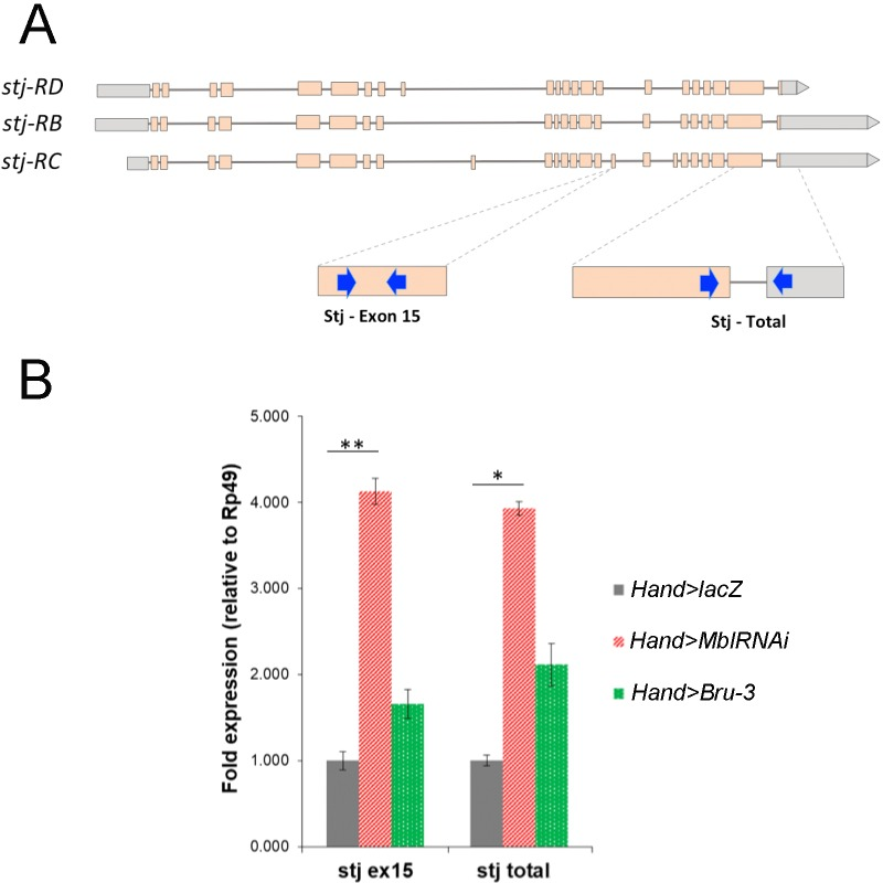 stj-RC transcript isoform carrying long 3'UTR and alternatively spliced exon 15 is up regulated in Hand > MblRNAi and in Hand > <t>Bru-3</t> hearts. ( A ) RT-qPCR probes for stj-RC specific exon 15 and for total stj transcripts are indicated on the scheme. ( B ) RT-qPCR analysis of stj-RC and total stj transcript levels in control ( Hand > lacZ ) fly hearts and in two DM1 contexts ( Hand > MblRNAi and Hand > Bru-3 ). One-way ANOVA, Kruskall-wallis Dunn's multiple comparison post-test was applied for assessing statistical significance (* - p