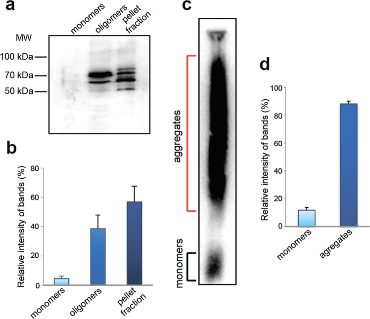 FXR1 forms SDS-resistant oligomers and aggregates in rat brain. ( a ) FXR1 is present in brain in fraction of oligomers and insoluble aggregates. Total protein lysate was divided into fractions of monomers less than 100 kDa, oligomers larger than 100 kDa, and insoluble aggregates. The fractions were subjected to SDD-PAGE and analyzed by immunoblotting with anti-FXR1 antibodies. ( b ) Relative intensity of bands corresponding to FXR1 monomers, oligomers and insoluble aggregates is represented as mean ± SEM for three independent brain samples. ( c ) A large portion of FXR1 in rat brain forms SDS-resistant aggregates. Total rat brain lysate was treated with1% SDS at RT, subjected to SDD-AGE, and analyzed by immunoblotting with anti-FXR1 antibodies. ( d ) Relative intensity of bands corresponding to FXR1 monomers and SDS-resistant aggregates is represented as mean ± SEM for three independent brain samples.