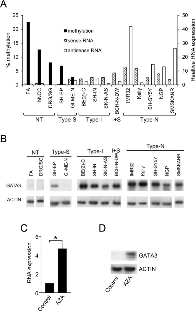 GATA3 <t>DNA</t> methylation and expression. ( A ) GATA3 sense (hatched bars) and antisense (unfilled bars) RNA expression assayed by QPCR, and DNA methylation levels (black bars) detected by <t>pyrosequencing,</t> in control tissues and neuroblastoma cell lines. RNA levels were normalized to endogenous levels of TBP and expressed relative to hNCC. DNA methylation was calculated as the average of the 01 and 02 pyrosequencing assays. ( B ) GATA3 protein levels assayed by Western blot in normal tissues (NT) and type-S, type-I, I + S and type-N neuroblastoma cell lines, with ACTIN as a loading control. Uncropped blots are shown in Supplementary Fig. S10 . ( C ) GATA3 sense RNA expression in DRG/SG cells treated with 2 μM AZA for 6 days. RNA levels were normalized to endogenous levels of TBP and expressed relative to control. Mean ± S.E.M of three experiments; *p