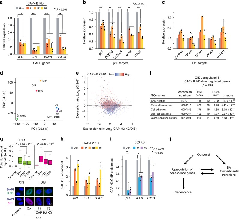 Effects of CAP-H2 condensin depletion on gene regulation in OIS cells. a – c Effect of CAP-H2 KD on mRNA levels of the SASP ( a ), p53 target ( b ), and E2F target genes ( c ). RNA levels of the indicated genes in OIS (control) and CAP-H2 KD (#1-#3) cells were quantified by RT-qPCR. P -values were calculated by two-sided Student's t -test, using biologically independent samples ( n = 3, error bars represent the SD). d PCA of RNA-seq data showing similarities and differences in global expression profiles among growing, OIS (Bio1 and Bio2) and CAP-H2 KD (#1-#3) IMR90 cells. The positioning of growing and CAP-H2 KD cells at a similar location along the PC2 axis indicates that gene expression profiles in these cell populations are correlated. PC1, PC2, principal components 1 and 2. e Correlation between genes that were upregulated upon OIS and downregulated by CAP-H2 KD. Expression ratios between OIS and growing cells were compared to those between CAP-H2 KD and OIS cells. Upper left quadrant indicates 4553 genes that were upregulated by OIS and downregulated by CAP-H2 KD. Dot colors reflect CAP-H2 ChIP-seq enrichment scores. f GO analysis of genes ( n = 193) significantly upregulated upon OIS and downregulated by CAP-H2 KD, showing enrichment in SASP and other senescence genes (Fisher exact test). g Immunofluorescent (IF) visualization of IL1B (SASP factor) and p21 (p53 target; cell-cycle regulator) in OIS and CAP-H2 KD cells. Nuclear IF signals were quantified in more than 100 cells (Methods), and distributions of nuclear IF signals shown as boxplots (central bar represents the median with boxes indicating the upper and lower quartiles, and whiskers extend to the data points, which are no more than 1.5× the interquartile range from the box) were compared between CAP-H2 KD and control cells (two-sided Mann–Whitney U test). h Effect of CAP-H2 KD on p53 binding at p53 target genes in IMR90 OIS cells, as determined by ChIP-qPCR. i Effect of p53 KD on CAP-H2 binding at the indicated p53 target genes in OIS cells. Cells were prepared as in Fig. 7a except that CAP-H2 KD was replaced by p53 KD. P -values were calculated by two-sided Student's t -test, using biologically independent samples ( n = 3, error bars represent the SD). j A model explaining how condensin may mediate gene regulation and compartmental reorganization during senescence processes. A hypothesis is that condensin participates in the upregulation of senescence genes and BA transitions, both of which are not completely independent to each other.