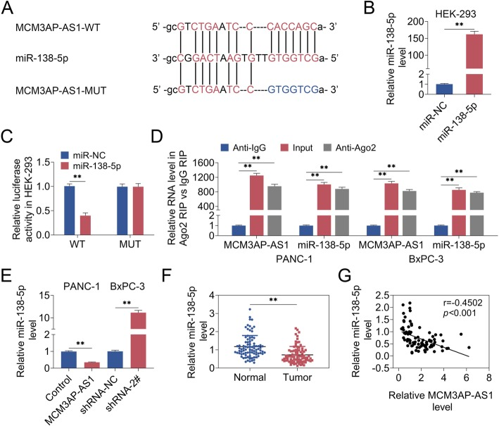 MCM3AP-AS1 was negatively associated with miR-138-5p. a Bioinformatic analysis predicted that MCM3AP-AS1 could sponge miR-138-5p. b qRT-PCR detected miR-138-5p level. c Dual luciferase reporter assay demonstrated the interaction between MCM3AP-AS1 and miR-138-5p. d The binding of MCM3AP-AS1 and miR-138-5p was identified via RIP assay. e - f qRT-PCR analyzed miR-138-5p level. g The correlation between MCM3AP-AS1 and miR-138-5p was assayed. n = 3. (**, p