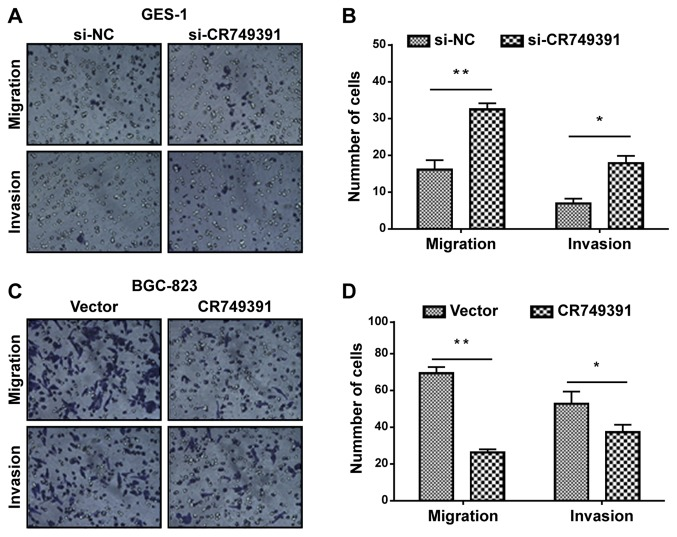 Effect of CR749391 on gastric cancer cell migration and invasion in vitro . Transwell assays were performed to investigate changes in cell migration and invasion. (A and B) GES-1 cells were transfected with si-CR749391 or si-NC, and (C and D) BGC-823 cells were transfected with pcDNA3.1/CR749391 vector or empty vector control, and then subjected to Transwell assays. Magnification, ×100. The data are expressed as the mean ± standard deviation of three independent experiments. *P