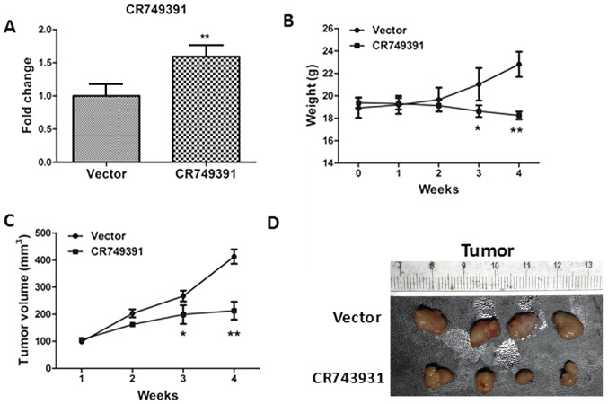 Effect of CR749391 overexpression on tumor growth in vivo . A xenograft model derived from BGC-823 cells transfected with pcDNA3.1/CR749391 or empty vector was established. (A) CR749391 expression in tissues of resected tumors was determined by reverse transcription-quantitative polymerase chain reaction. (B) Body weight curves of the mice and (C) tumor volume over the course of the experiment. Values are expressed as the mean ± standard deviation (n=4). *P